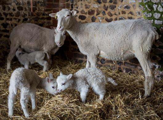 The Little Grey Sheep Lambing Weekend – 23 to 24 April – Well, Hampshire RG29